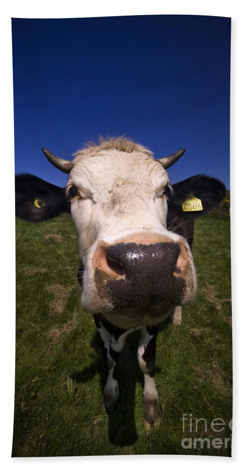 Cow Bath Sheet featuring the photograph The Wideangled Cow by Angel Ciesniarska