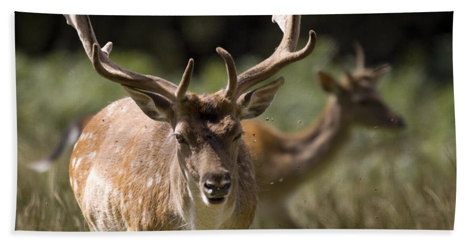 Fallow Deer Bath Towel featuring the photograph Those Bloody Flies by Angel Tarantella