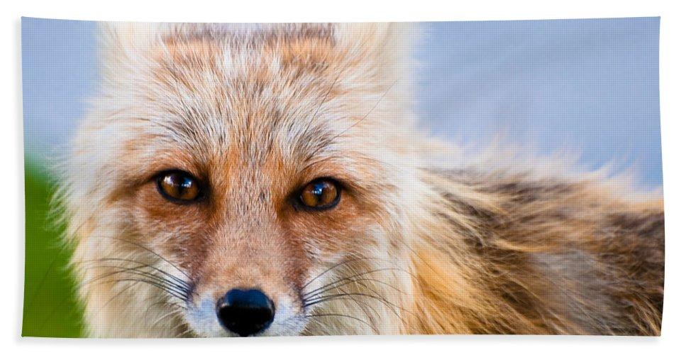 Red Fox Hand Towel featuring the photograph Those Eyes by Gary Lengyel