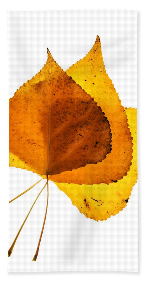 Cottonwood Leaves Hand Towel featuring the photograph Three Backlit Cottonwood Leaves In Autumn On White by Vishwanath Bhat