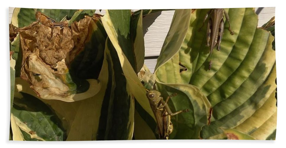 Grasshoppers Hand Towel featuring the photograph Three Different Differential Grasshoppers   July   Indiana by Rory Cubel