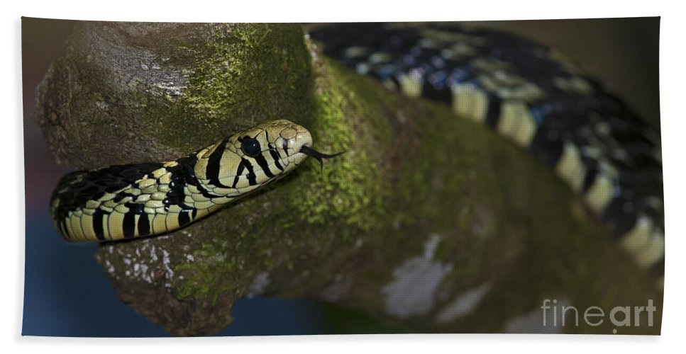 Festblues Hand Towel featuring the photograph Tiger In The Tree.. by Nina Stavlund