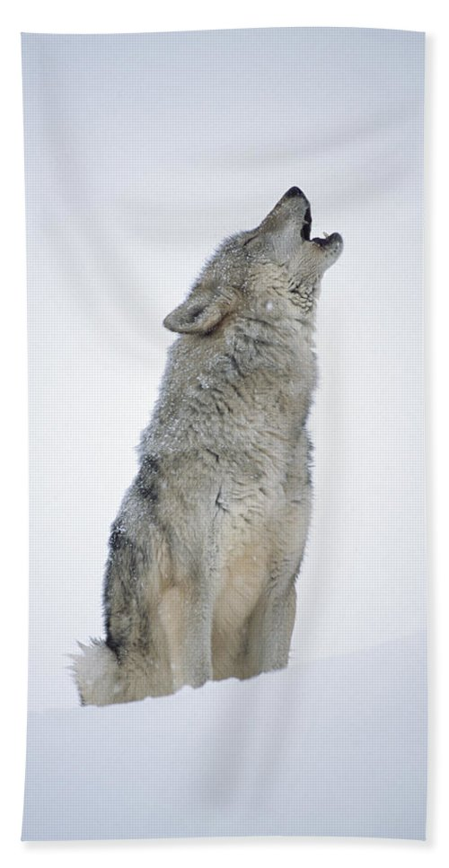 00174271 Bath Towel featuring the photograph Timber Wolf Portrait Howling In Snow by Tim Fitzharris