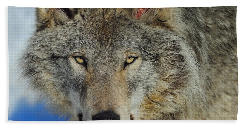 Timber Wolf Bath Sheet featuring the photograph Timber Wolf Portrait by Tony Beck