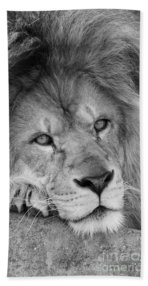 Lion Bath Sheet featuring the photograph Tired Tango Black And White by Judy Whitton