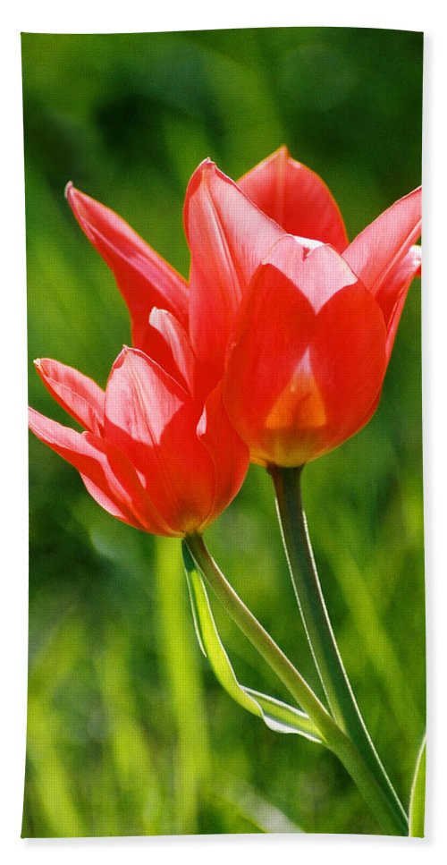 Flowers Bath Sheet featuring the photograph Toronto Tulip by Steve Karol