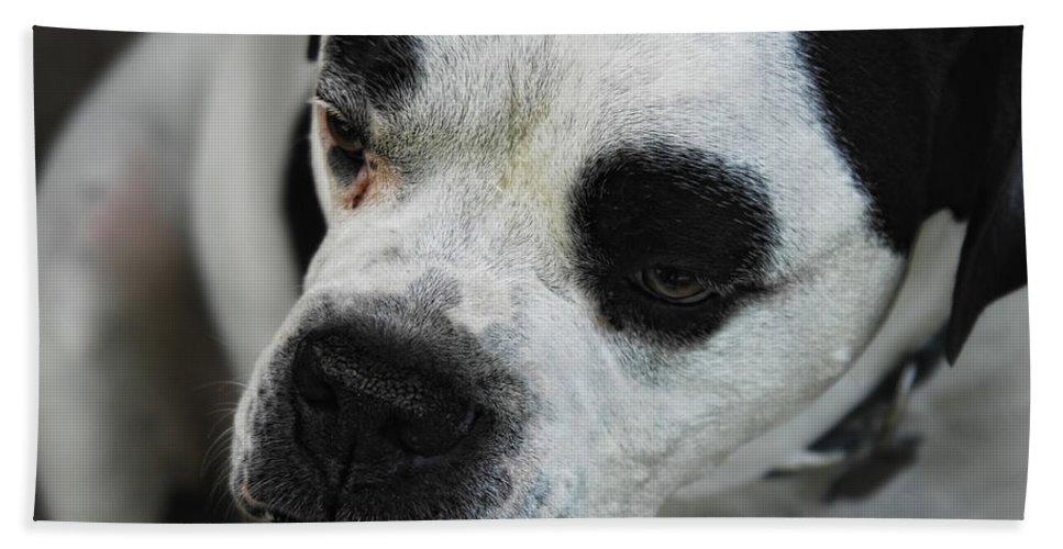 Bull Dog Bath Sheet featuring the photograph Tough Guy by Donna Blackhall