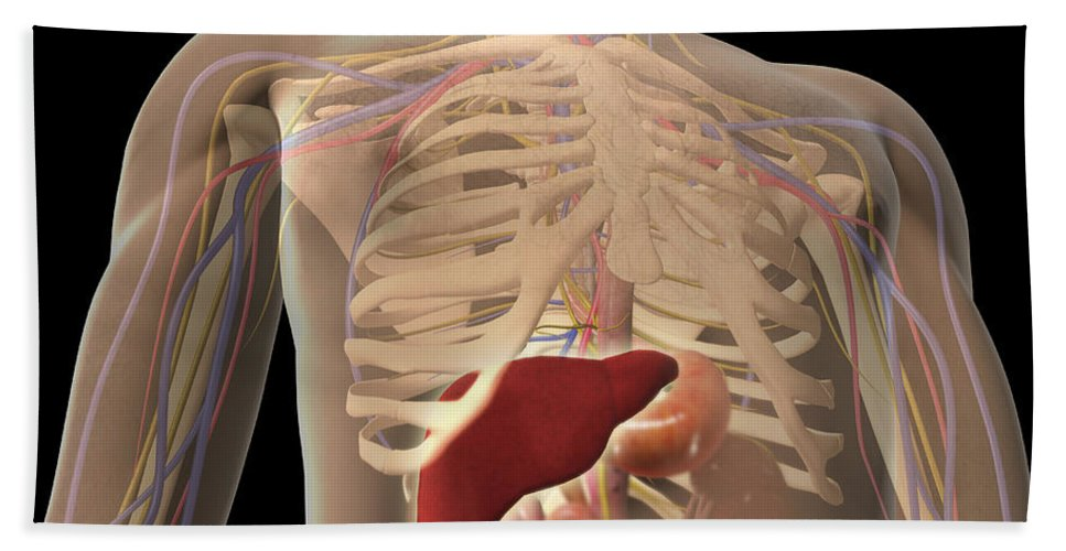 Biomedical Illustrations Bath Sheet featuring the digital art Transparent View Of Human Torso Showing by Stocktrek Images