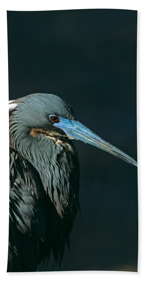 Tri Colored Heron Hand Towel featuring the photograph Tri Colored Heron Displaying Breeding Plumage by John Harmon