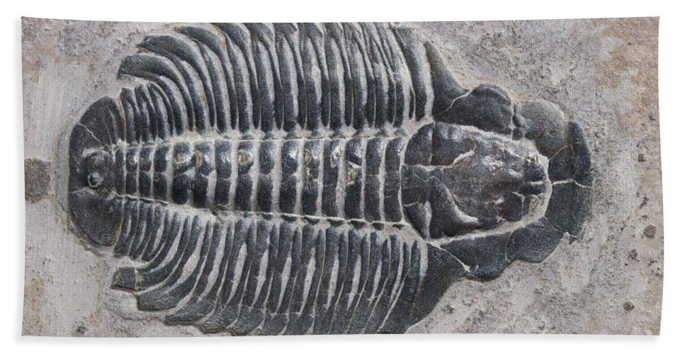 Trilobite Hand Towel featuring the photograph Trilobite by Robert J Erwin and Photo Researchers