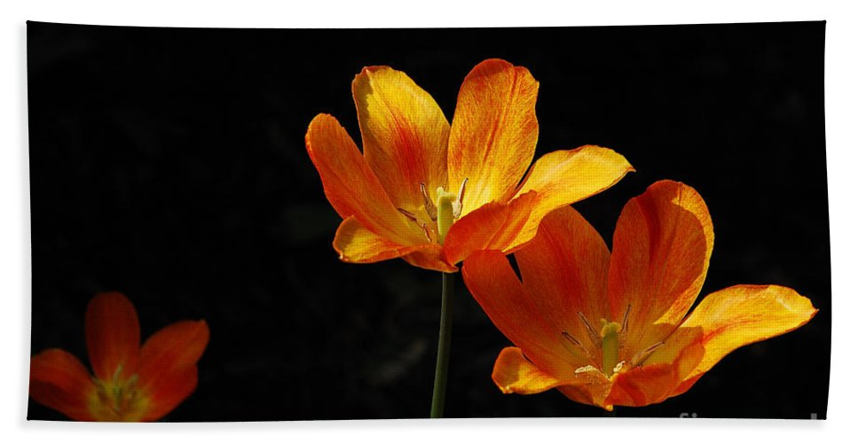 Tulips Hand Towel featuring the photograph Triples by Lois Bryan