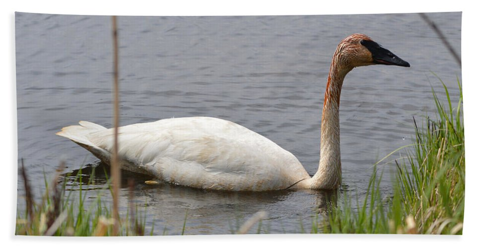 Trumpeter Swan Bath Sheet featuring the photograph Trumpeter by Linda Kerkau