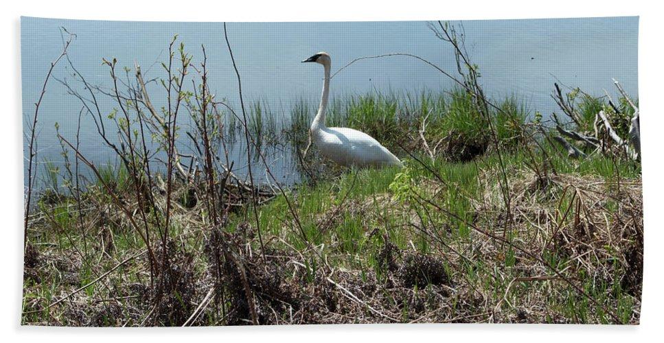 Wildlife Bath Sheet featuring the photograph Trumpeter Swan by Linda Kerkau