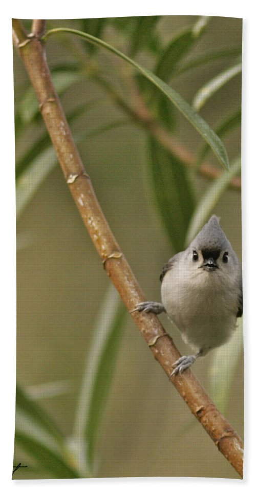 Birds Bath Sheet featuring the photograph Tufted Titmouse by Phill Doherty