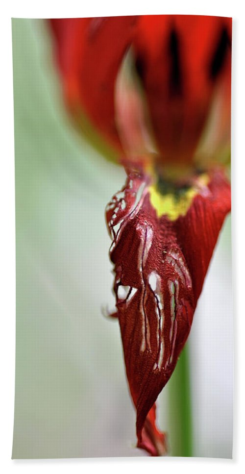 Lachish Bath Sheet featuring the photograph Tulip In Blossom 1 by Dubi Roman