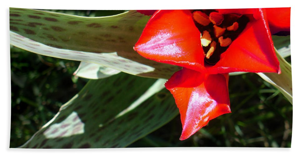 Tulip Hand Towel featuring the photograph Tulip by Steve Karol