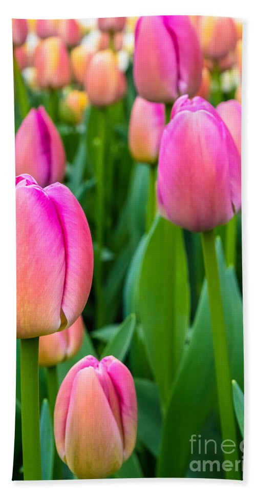Dutch Pink Flower Tulip Tulips Flowers Gardening Netherlands Keukenhof Europe European Gardens Garden Travel Purple Destination Springtime Colorful Colourful Cultivation Growing Colors Colours Bloom Blooming Natural Growth Planted Plant Leaves Blossom Seasonal Season Stems Stem Detail Beautiful Delicate Flora Field Spring Flowerbed Agriculture Hand Towel featuring the photograph Tulips 5 by Marcin Rogozinski