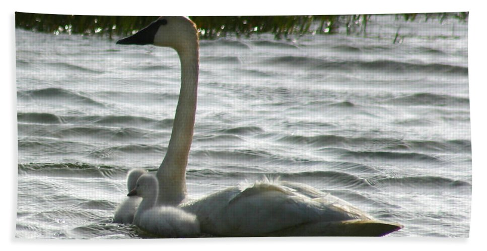 Swans Bath Towel featuring the photograph Tundra Swan And Signets by Anthony Jones