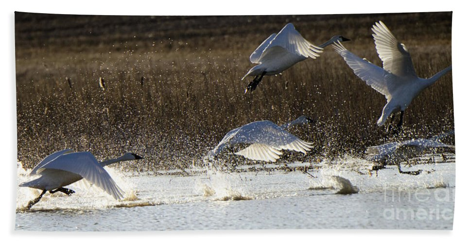 Swan Hand Towel featuring the photograph Tundra Swans Take Off 2 by Bob Christopher