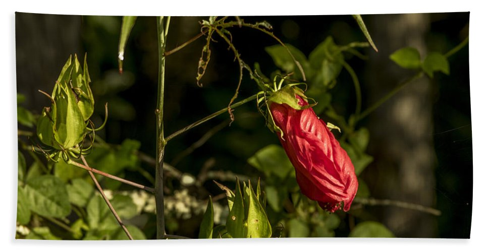 Audubon Hand Towel featuring the photograph Turk's Cap 1 by Nancy L Marshall