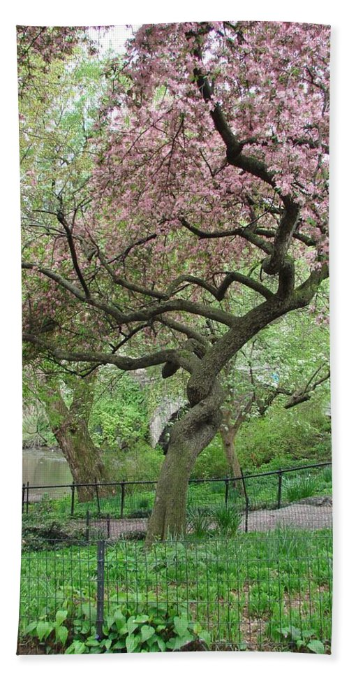 Cherry Blossoms Bath Sheet featuring the photograph Twisted Cherry Tree In Central Park by Margaret Bobb