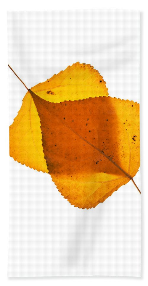 Cottonwood Leaves Hand Towel featuring the photograph Two Backlit Cottonwood Leaves In Autumn On White by Vishwanath Bhat