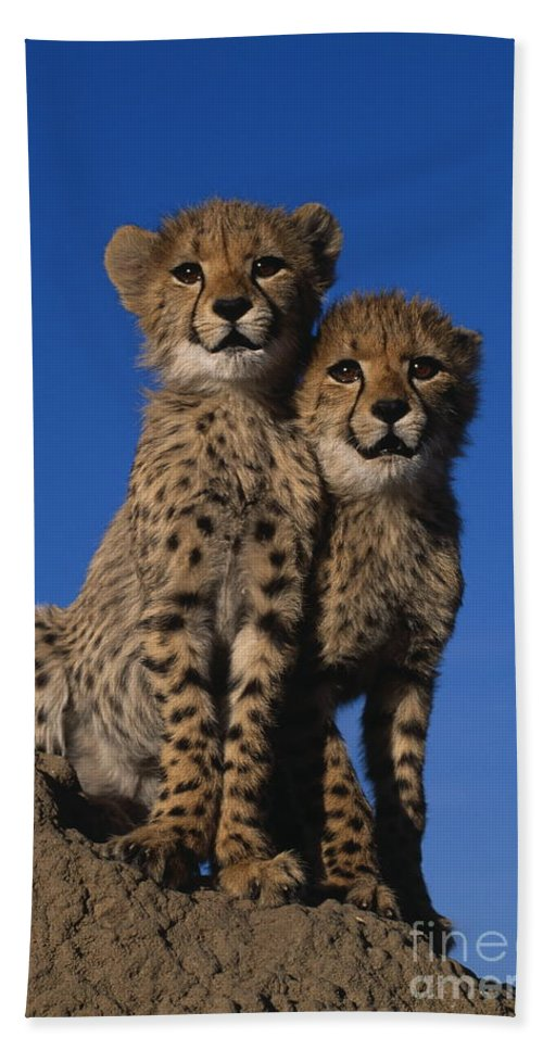Animal Hand Towel featuring the photograph Two Cheetah Cubs by Martin Harvey and Photo Researchers