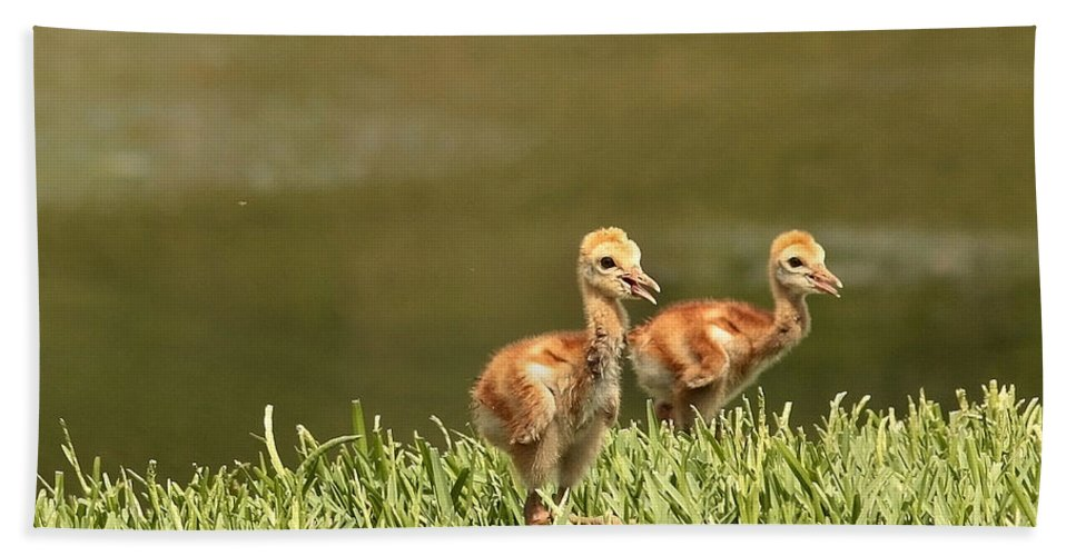 Sandhill Crane Chicks Bath Sheet featuring the photograph Two Chicks by Carol Groenen