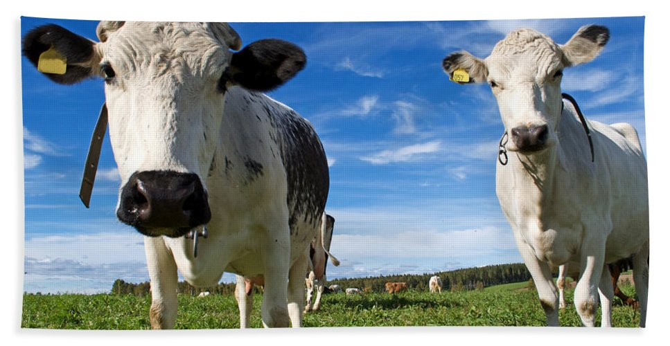 Animals Hand Towel featuring the photograph Two Cows by Tamara Sushko