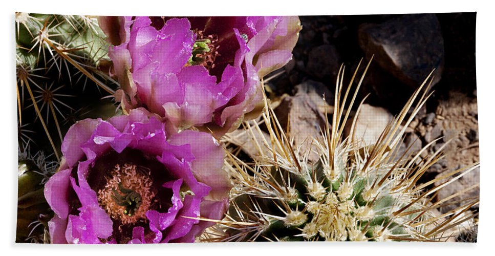 Cactus Hand Towel featuring the photograph Two Fucshia Blossoms by Phyllis Denton