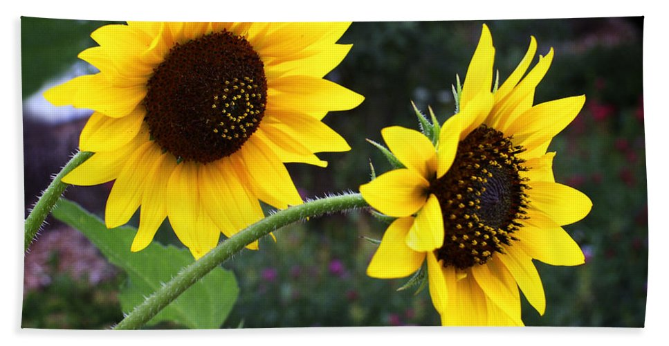Flower Bath Sheet featuring the photograph Two Sunflowers by Marilyn Hunt