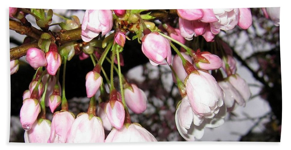 Cherry Blossoms Hand Towel featuring the photograph Vancouver Cherry Blossoms by Will Borden