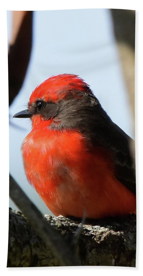 Vermilion Bath Sheet featuring the photograph Vermilion Flycatcher by Dwight Eddington