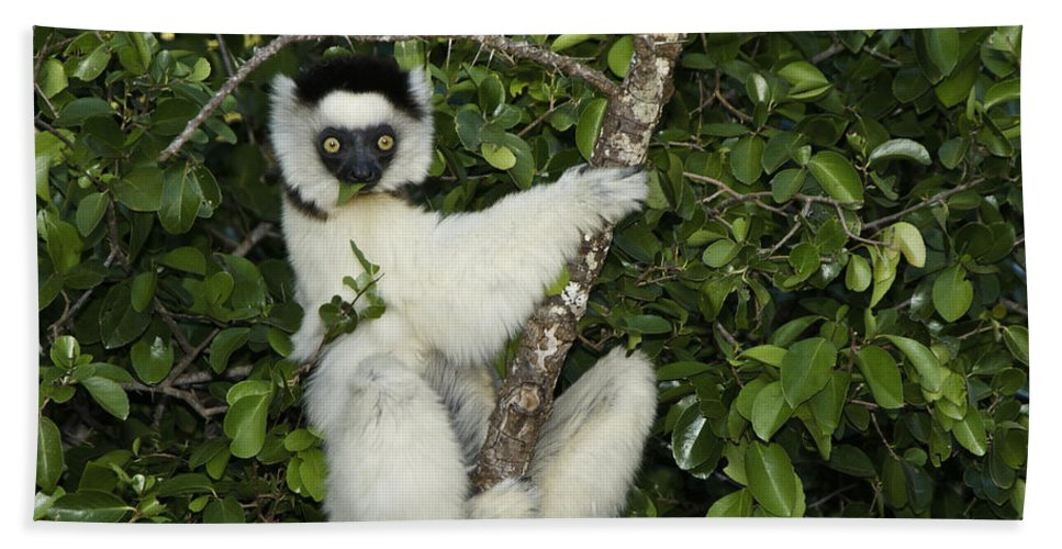 Madagascar Bath Sheet featuring the photograph Verreaux's Sifaka by Michele Burgess