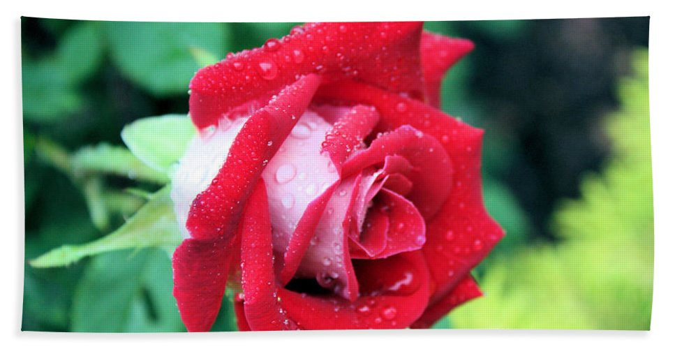 Rose Hand Towel featuring the photograph Very Dewy Rose by Kristin Elmquist
