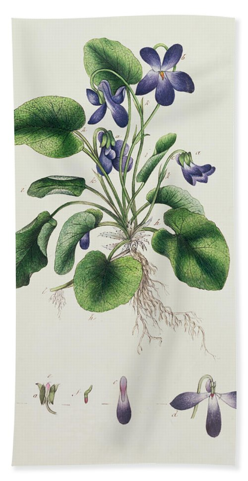 Flower Bath Sheet featuring the painting Violets by English School