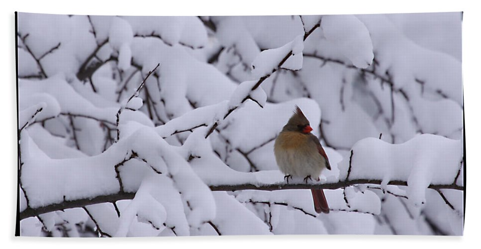 Female Cardinal Bird Wildlife Snow Season Winter Photograph Photographer Bath Sheet featuring the photograph Waiting For Mr. C by Shari Jardina
