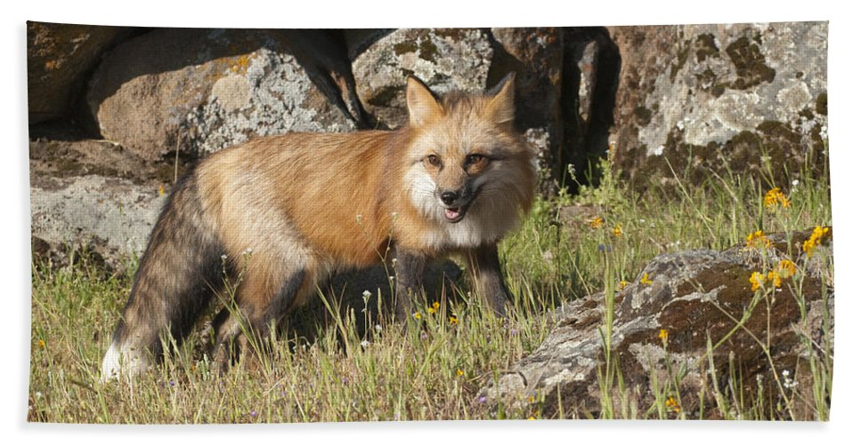 Red Fox Hand Towel featuring the photograph Wary Red Fox by Sandra Bronstein