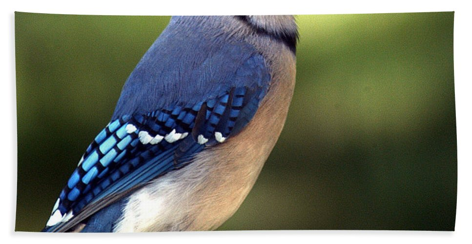 Clay Hand Towel featuring the photograph Watchful Blue Jay by Clayton Bruster