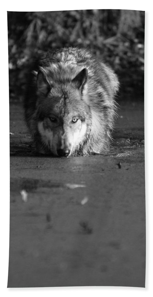 Wolf Wolves Lupine Canis Lupis Animal Wildlife Photograph Photography Bath Sheet featuring the photograph Water Wolf I by Shari Jardina