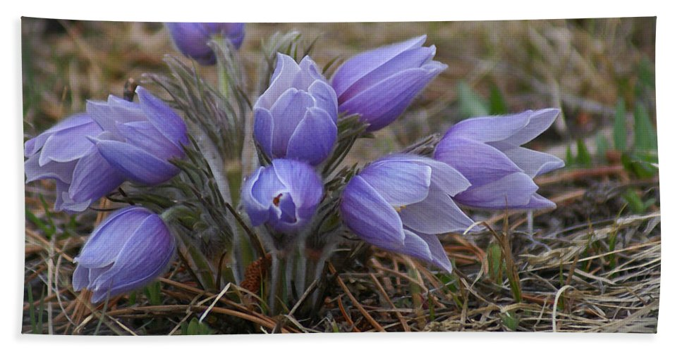Pasque Flower Hand Towel featuring the photograph Watercolor Pasque Flowers by Heather Coen