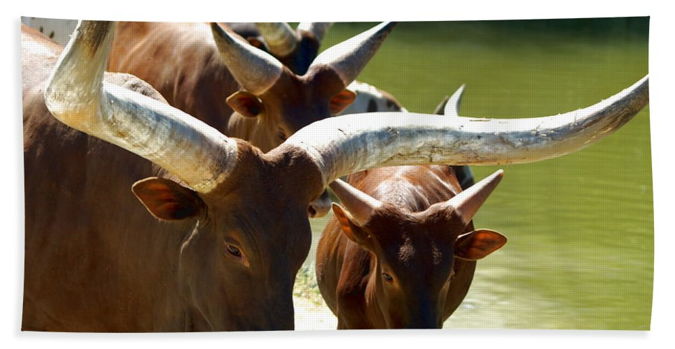 Animal Hand Towel featuring the photograph Watusi Cattle by Richard Thomas