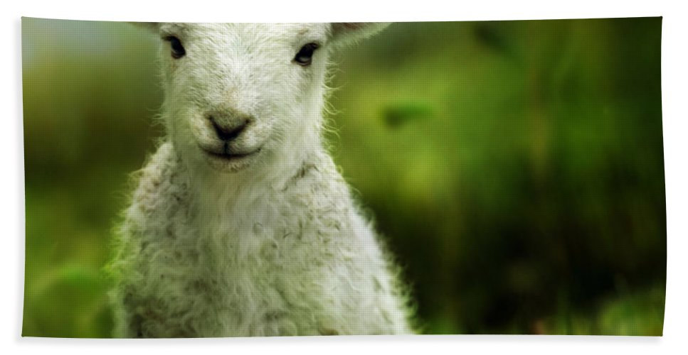Wales Hand Towel featuring the photograph Welsh Lamb by Angel Ciesniarska