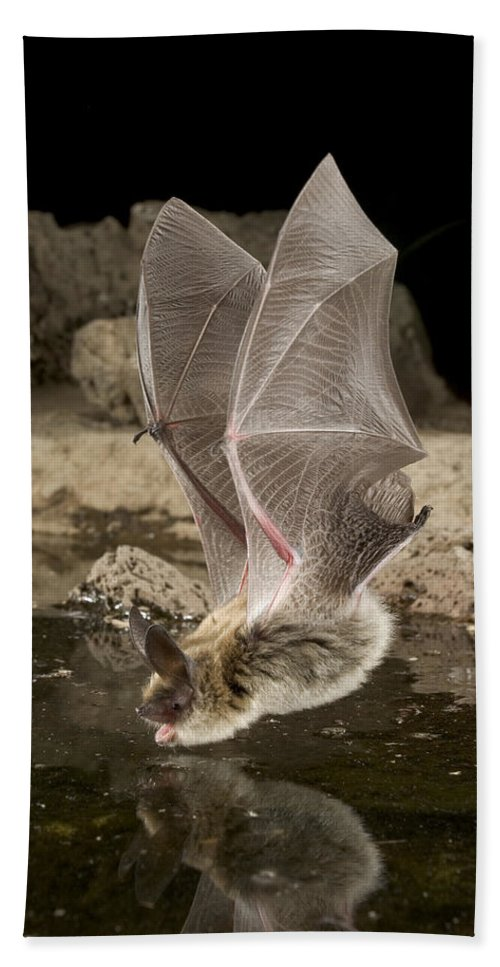 Mp Hand Towel featuring the photograph Western Long-eared Myotis Drinking by Michael Durham