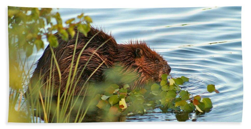 Beaver Bath Towel featuring the photograph Wet Beaver by Rick Monyahan