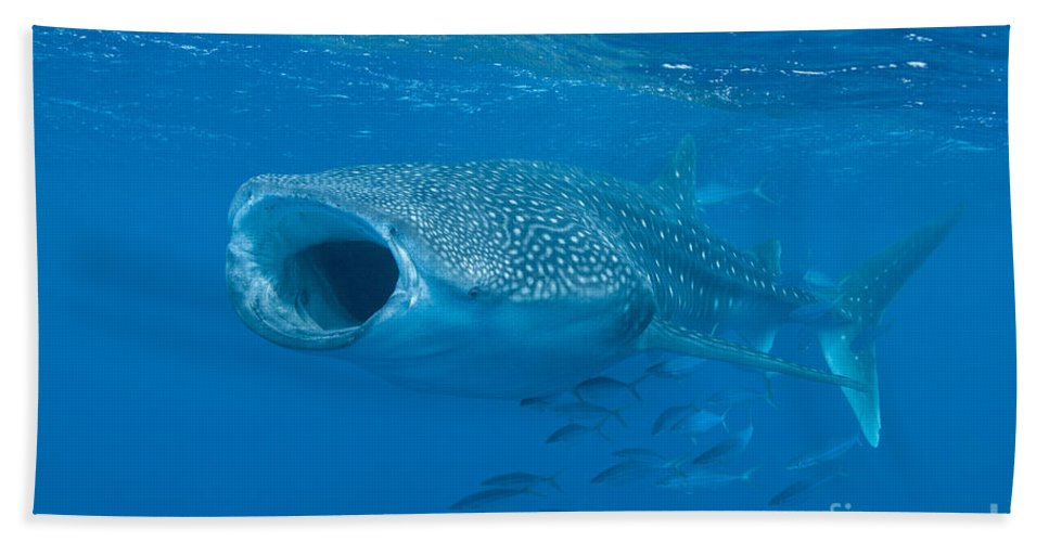 Maldives Hand Towel featuring the photograph Whale Shark, Ari And Male Atoll by Mathieu Meur