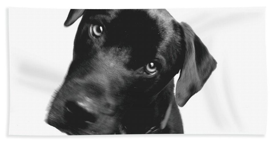 Labrador Bath Sheet featuring the photograph What by Amanda Barcon
