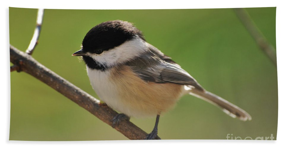 Chickadee Hand Towel featuring the photograph What To Do What To Do by Lori Tambakis