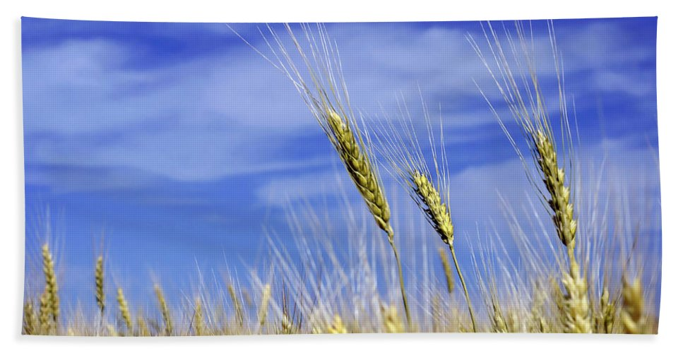 Wheat Bath Sheet featuring the photograph Wheat Trio by Keith Armstrong