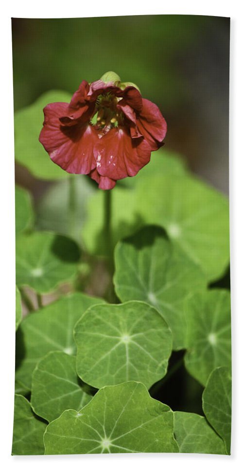 Nasturtium Hand Towel featuring the photograph Whirleybird Nasturtium by Teresa Mucha
